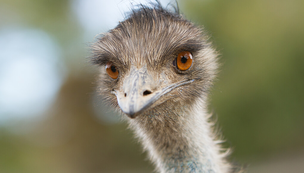 Large flightless emu