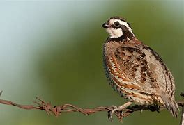 Bobwhite Quail on Branch