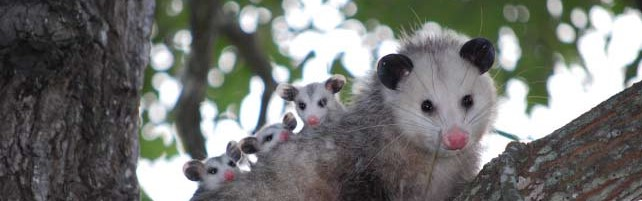 North American Opossum with Babies