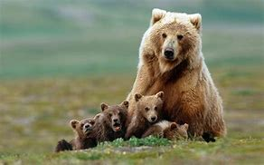 Grizzly Bear with Young