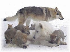 Adult Wolves with Pups