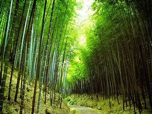 Huge Bamboo Forest in China