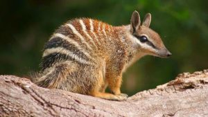 The Australian Numbat Sits on a Branch