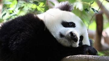 Panda Relaxes High in Trees