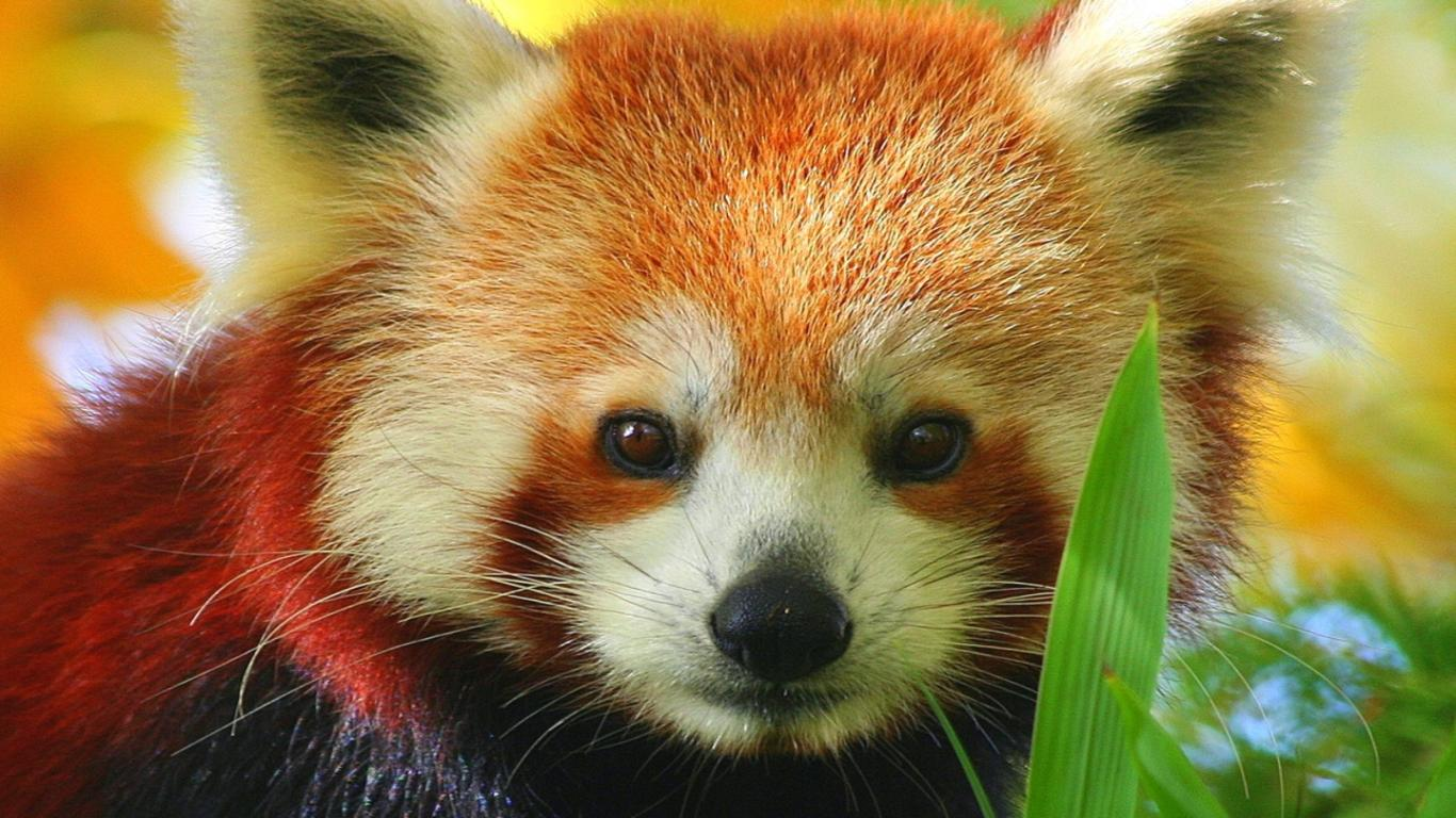 Close-up Beautiful Red Panda Adult