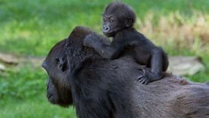 Infant Gorilla with Mother