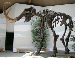 Skeleton of a large woolly mammoth