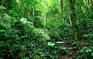 Jungle Habitat of Gorillas
