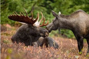 Male Moose with Antlers with Female Moose