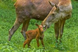 Female Moose with Offspring
