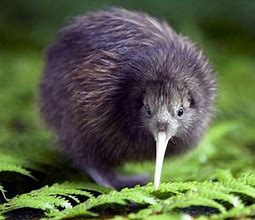 Full Grown Kiwi Flightless Bird