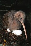 Adult Kiwi Sits on Eggs