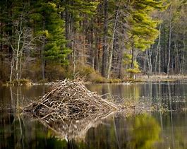Large Beaver Lodge Built in River