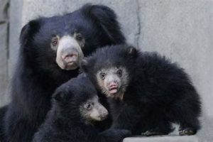Mature Sloth Bear with Two Cubs