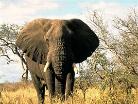 Full Grown African Elephant