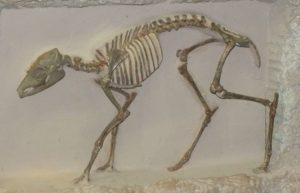 Fossil of Ancient Ancestor of the Modern Camel