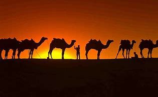 Sunset Behind Line of Camels