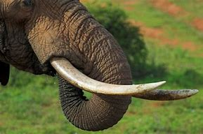 Large Tusks of Adult Elephant