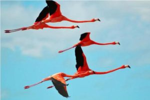 Adult Flamingos Flying in the Air