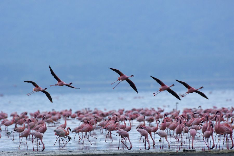 Lesser Flamingo Feeding in Water