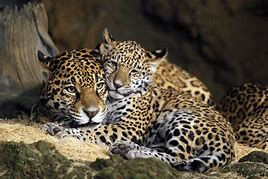Adult and Baby Jaguar