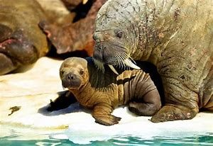 Mother Walrus with Baby Walrus
