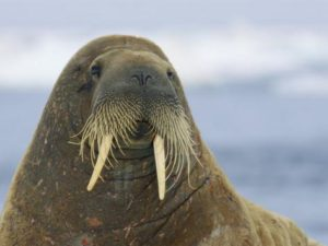 Photo of Adult Walrus
