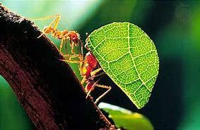 Red Leafcutter Ants Carrying Green Leaf