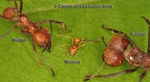 Leafcutter Ant Society Ant Size
