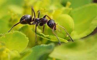 Close-up of Black Ant on Leaf