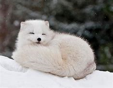 Full Grown Arctic Fox Sleeping
