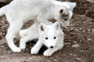 Two White Arctic Foxes