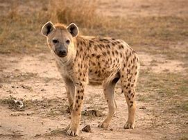 Full Grown Spotted Hyena