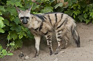 Full Grown Aardwolf in Hyena Family