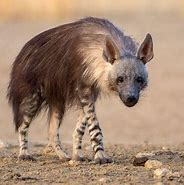 Full Grown Brown Hyena
