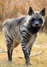 Adult Striped Hyena