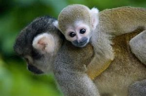 Adult Monkey with Baby in Back