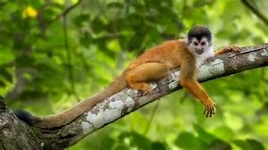 Adult Squirrel Monkey Relaxing in Tree
