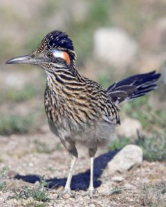 Fully Grown Desert Roadrunner