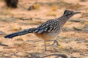 Full Grown Desert Roadrunner