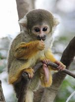 Adult Squirrel Monkey on Tree Branch