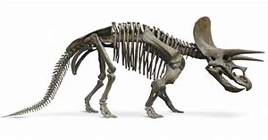 Complete Skeleton of Triceratops
