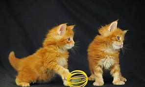 Two Orange Baby Cats