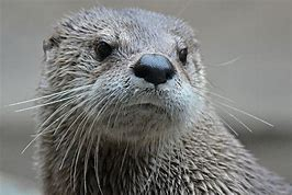 Close-up Photo of Adult Sea Otter