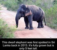 Full Grown Dwarf Elephant