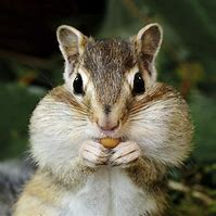 Chipmunk with Full Mouth