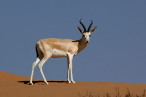 Adult Gazelle Standing on Hill