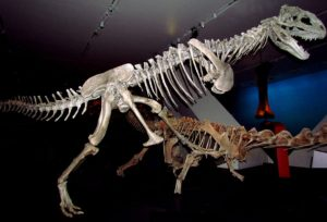 Full Skeleton Majungasaurus