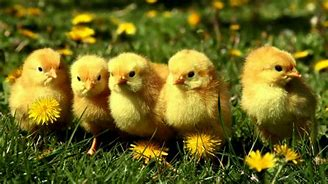 Yellow Baby Chicks