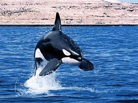 Orca Leaping from Water